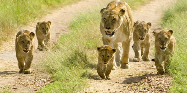 Animals___Wild_cats_Lioness_with_cubs_walking_along_the_road_094872_